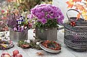 Silberne Dosen mit Chrysanthemum (Herbstchrysantheme), Calluna 'Pink