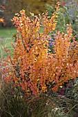 Berberis thunbergii (Berberitze) in Herbstfärbung