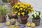 Herbstliche Topfgruppe mit Chrysanthemum (Herbstchrysantheme)