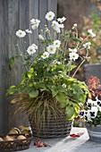 Anemone japonica 'Wirbelwind' (Herbstanemone) und Carex (Segge)