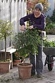 Frau schneidet Solanum rantonnetii (Enzianbaum) vor der Einwinterung zurück