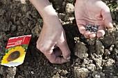 Samen von Helianthus (Sonnenblumen) im Abstand in die Erde legen