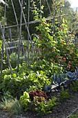 Gemüsegarten mit Buschbohnen und Feuerbohnen (Phaseolus)