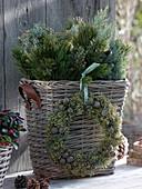 Korb mit Zweigen Pinus (Kiefer) und Cupressus arizonica