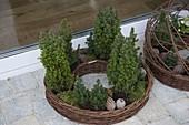 Weiden - Ring bepflanzt mit Koniferen