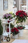 Weihnachtliches Arrangement mit Euphorbia pulcherrima (Weihnachtssternen)