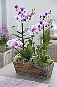 Dendrobium 'Polar Fire', Phalaenopsis 'Antwerpen' (Orchideen)