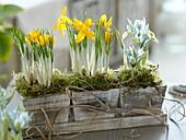 Crocus chrysanthus (Krokusse) und Iris reticulata 'Katherine Hodgkin'