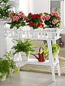 Begonia elatior (Begonie) und Farne auf Blumenständer