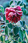 FROSTED ROSE 'PROSPERO' at PETTIFERS, OXFORDSHIRE