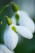 GALANTHUS PLICATUS 'RUTH DASHWOOD'. SNOWDROP. WOODCHIPPINGS, NORTHANTS. CLOSE-UP, Green, White FLOWER