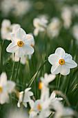 KELMARSH HALL, NORTHAMPTONSHIRE: CLOSE UP of White FLOWER of PHEASANT'S EYE NARCISSUS (NARCISSUS POETICUS Var RECURVUS)