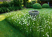 WOLLERTON Old HALL, SHROPSHIRE: FONT SURROUNDED by MEADOW PLANTING of DAISIES (LEUCANTHEMUM VULGARE)