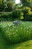WOLLERTON Old HALL, SHROPSHIRE: THE FONT Garden with MEADOW PLANTING of DAISIES (LEUCANTHEMUM VULGARE)