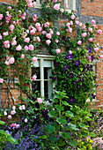 WOLLERTON Old HALL, SHROPSHIRE: SOUTH WALL of THE COTTAGES with Rosa 'Caroline TESTOUT' AND CLEMATIS 'Viola'