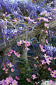 PASHLEY MANOR Garden, EAST Sussex, SPRING : PLANTING COMBINATION (CLIMBERS) UP A Balustrade - CLEMATIS Montana 'Rubens', WISTERIA AND CHOISYA TERNATA