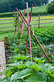 Designer: Clare MATTHEWS - Organic VEGETABLE Garden / POTAGER PROJECT, Devon: RASPBERRY PAINTED Obelisk SUPPORTING RASPBERRIES