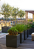 Designer: Charlotte ROWE, London: ROOF Garden - DECKED WALKWAY PAST WOODEN Pergola AND CONTAINERS PLANTED with PENNISETUM Hameln, PINUS MUGO AND Olive TREES