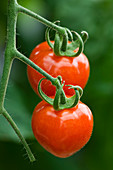 CLOSE UP of Red TOMATO 'BERRY'. EDIBLE