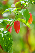 CLOSE UP of CHILLI Tobago SEASONING. EDIBLE, VEGETABLE
