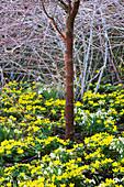 THE CREAMY White STEMS of RUBUS BIFLORUS, Acer GRISEUM, ACONITES AND SNOWDROPS - CAMBRIDGE BOTANIC Garden