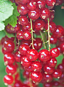 Clare MATTHEWS FRUIT Garden PROJECT: CLOSE UP of Red FRUIT of Red CURRANT 'JONKHEER Van TETS. EDIBLE, BERRY, BERRIES