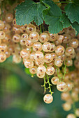 Clare MATTHEWS FRUIT Garden PROJECT: CLOSE UP of White FRUIT of White CURRANT 'White PARIEL'. EDIBLE, BERRY, BERRIES