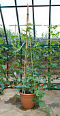 Clare MATTHEWS FRUIT Garden PROJECT: Water MELON INGRID GRAFED IN A Container IN A Greenhouse