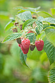 Clare MATTHEWS FRUIT Garden PROJECT: CLOSE UP of THE Red FRUITS of RASPBERRY 'TULAMEEN'. EDIBLE