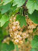 Clare MATTHEWS FRUIT Garden PROJECT: White BERRIES of White CURRANT 'White GRAPE'. EDIBLE, BERRY
