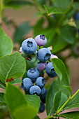 Clare MATTHEWS FRUIT Garden PROJECT: Blue BERRIES of Blueberry 'Patriot' - VACCINIUM CORYMBOSUM. FRUIT, EDIBLE, BERRY