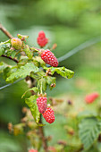 Clare MATTHEWS FRUIT Garden PROJECT: Red BERRY of Tayberry - BERRIES, FRUIT, EDIBLE