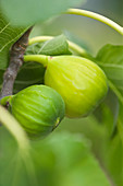 Clare MATTHEWS FRUIT Garden PROJECT: Yellow FRUITS of FIG - FICUS carica - FIG 'White MARSEILLES'. EDIBLE