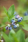 Clare MATTHEWS FRUIT Garden PROJECT: CLOSE UP of Blue FRUIT of Blueberry 'DUKE' . EDIBLE, BERRY, BERRIES