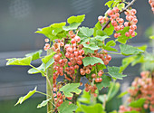 Clare MATTHEWS FRUIT Garden PROJECT: Pink BERRIES of Red CURRANT 'Champagne'. EDIBLE, BERRY