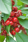 Clare MATTHEWS FRUIT Garden PROJECT: Red BERRIES of Cherry 'Stella'. FRUIT, EDIBLE, BERRY