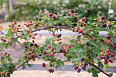Clare MATTHEWS FRUIT Garden PROJECT: BERRIES of BLACKBERRY 'SILVAN' - AGM - EDIBLE, FRUIT
