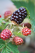 Clare MATTHEWS FRUIT Garden PROJECT: CLOSE UP of THE BERRIES of OLALLIBERRY (YOUNGBERRY X LOGANBERRY) EDIBLE,
