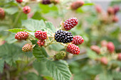 Clare MATTHEWS FRUIT Garden PROJECT: CLOSE UP of THE BERRIES of BLACKBERRY 'SILVAN'. BERRY, EDIBLE