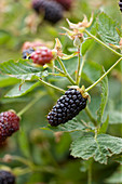 Clare MATTHEWS FRUIT Garden PROJECT: CLOSE UP of THE BERRIES of BLACKBERRY 'Black BUTE'. BERRY, EDIBLE