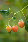 Clare MATTHEWS FRUIT Garden PROJECT: CLOSE UP of THE BERRIES of RASPBERRY 'VALENTINA'. BERRY, EDIBLE