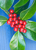 Highfield HOLLIES, Hampshire - CLOSE UP of THE Red BERRIES of THE HOLLY - ILEX X ALTACLARENSIS 'BALEARICA'