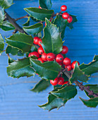 Highfield HOLLIES, Hampshire - CLOSE UP of THE Red BERRIES of THE HOLLY - ILEX meservae