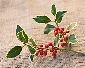 Highfield HOLLIES, Hampshire - CLOSE UP of THE Red BERRIES of THE HOLLY - ILEX HANDSWORTH New Silver
