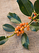 Highfield HOLLIES, Hampshire - CLOSE UP of THE Orange BERRIES of THE HOLLY - ILEX 'Amber'