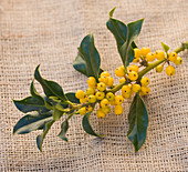 Highfield HOLLIES, Hampshire - CLOSE UP of THE Yellow BERRIES of THE HOLLY - ILEX AQUIFOLIUM 'BACCIFLAVA'