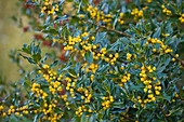 Highfield HOLLIES, Hampshire - Yellow BERRIES of THE HOLLY - ILEX BACCIFLAVA