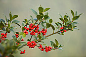 Highfield HOLLIES, Hampshire - LEAVES AND Red BERRIES of THE HOLLY - ILEX ALTACLERENSIS 'Purple SHAFT'