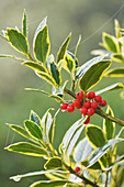 Highfield HOLLIES, Hampshire - LEAVES AND Red BERRIES of THE HOLLY - ILEX X ALTACLERENSIS 'BELGICA AUREA'
