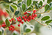 Highfield HOLLIES, Hampshire - Red BERRIES of ILEX ALTACLERENSIS 'Purple SHAFT'